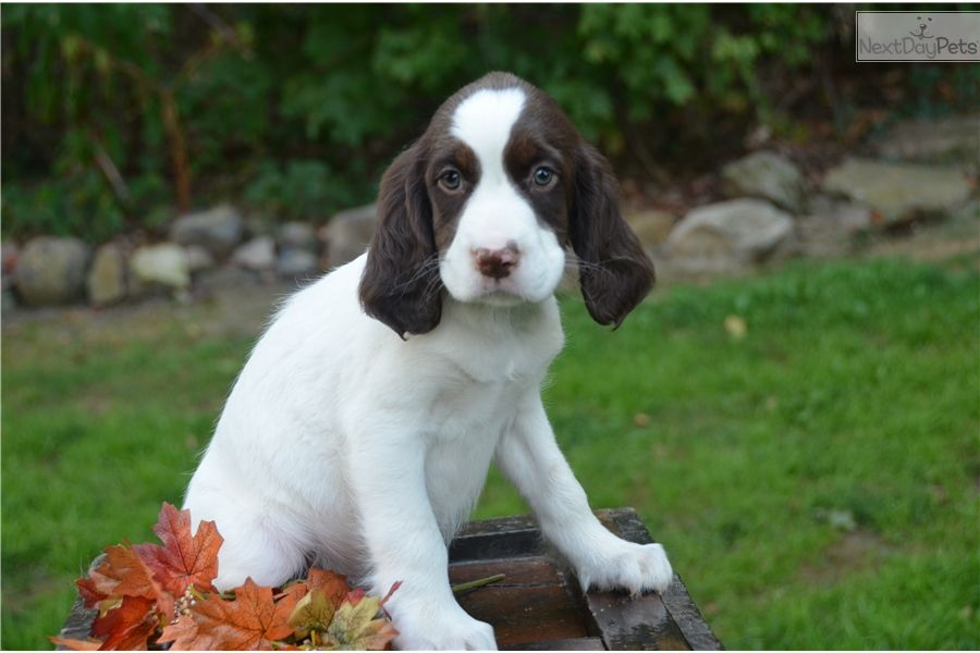 English Toy Spaniel Puppies For Sale Uk Ideas