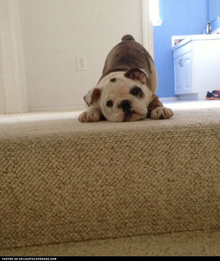 Adorable Bulldog Puppy On The Stairs Visit Our Poster Store