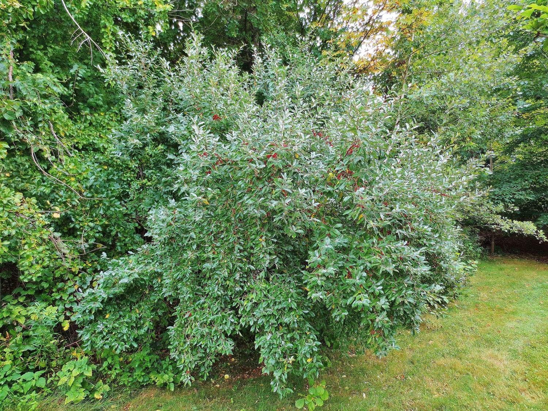 Autumn olive: foraging for autumnberries - | Shrub, Autumn ...