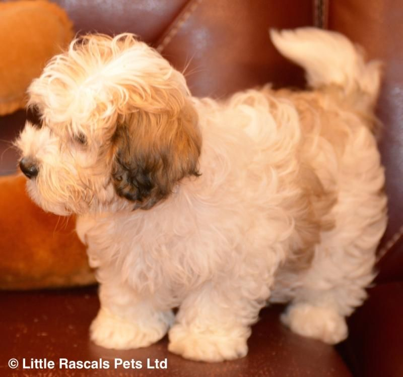 Gorgeous Cavapoochon Little Girl Designer And Cross Breed Puppies For Sale Cavapoochon Puppies For Sale Cute Dogs And Puppies