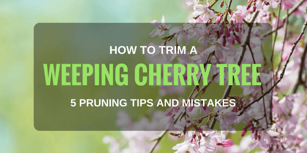 How To Trim A Weeping Cherry Tree 5 Pruning Tips And Mistakes That You Should Know Weeping Cherry Tree Cherry Tree Japanese Cherry Tree