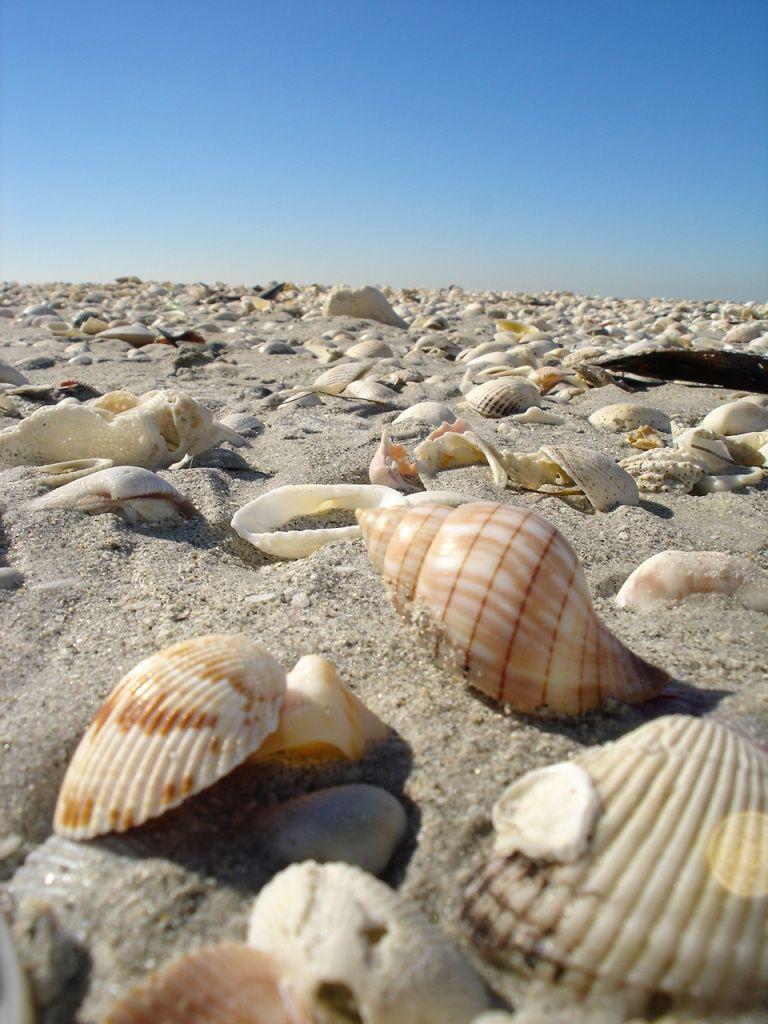 Sanibel Island Shelling 04