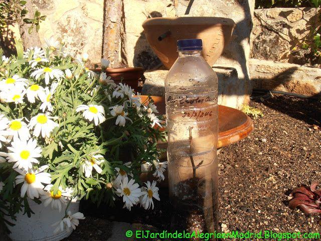 El jardín de la alegría : Reproducción de rosas mediante esqueje en ...