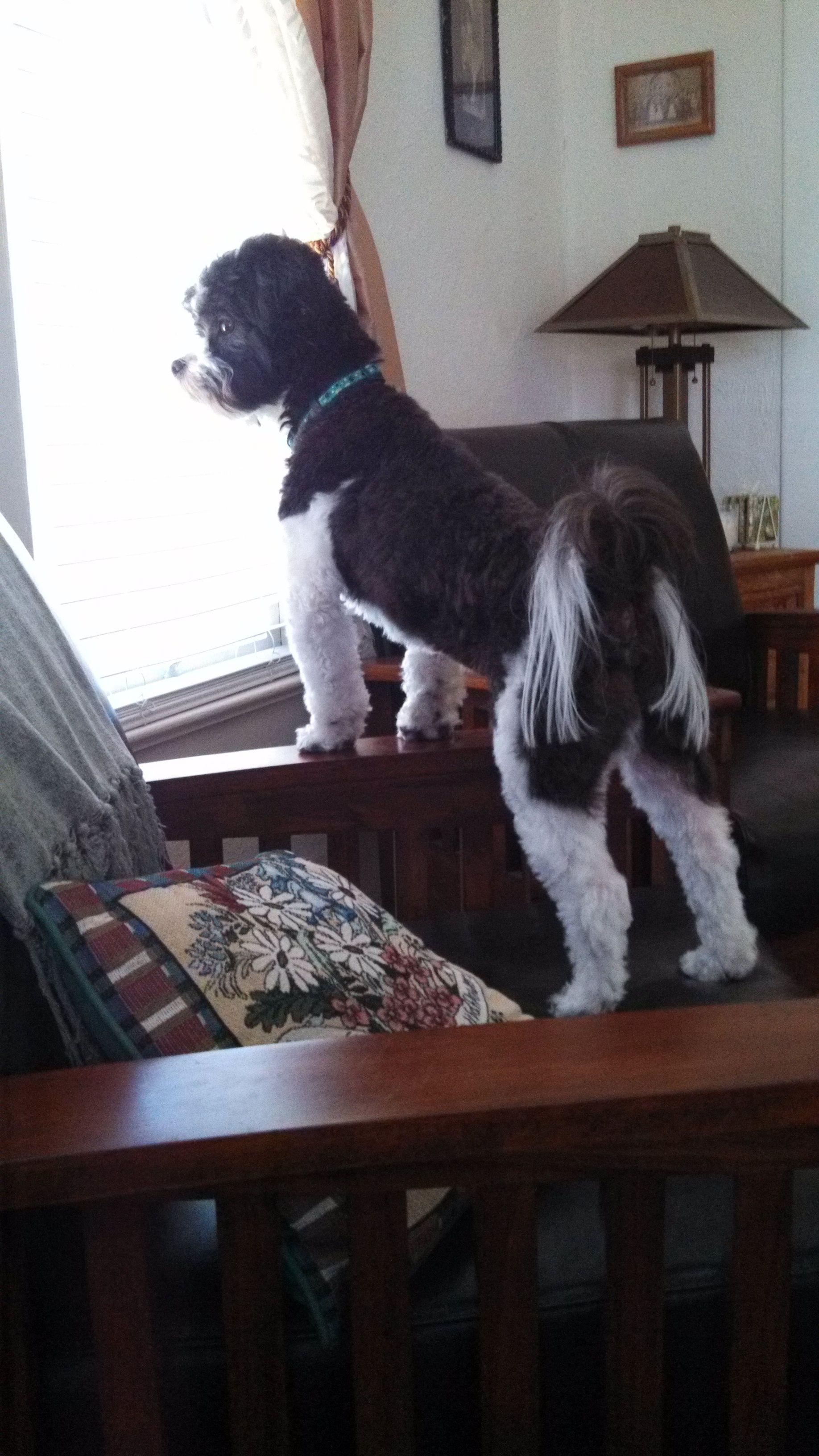 My Shichon, Izzy, watching the woman next door mow her
