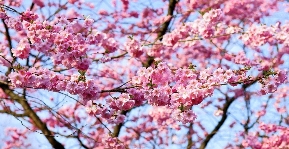 Yoshino Flowering Cherry Cherry Blossom Images Flowering Cherry Tree Cherry Blossom Japan