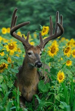 Deer in sunflowers