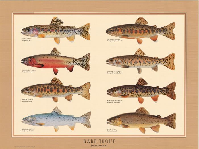Free trout illustrations rare trout poster fish for Trout fishing in america