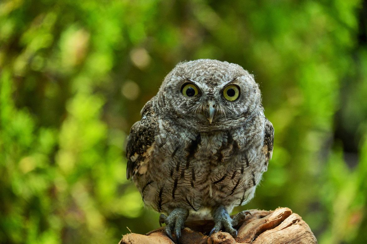 Photo Screech Owl by Aaron Leite on 500px