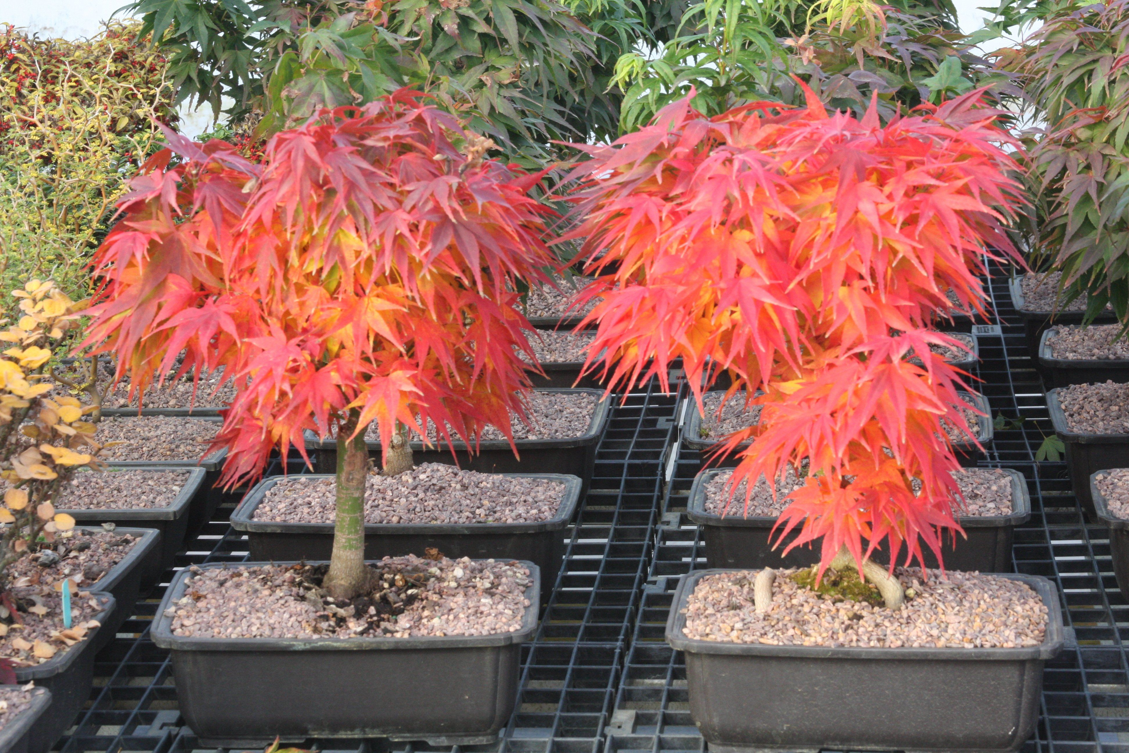 Acer Palmatum Mikawa Yatsubusa Dwarf Japanese Maple Garden Of