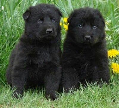 German Shepherd Want Black German Shepherd Puppies German