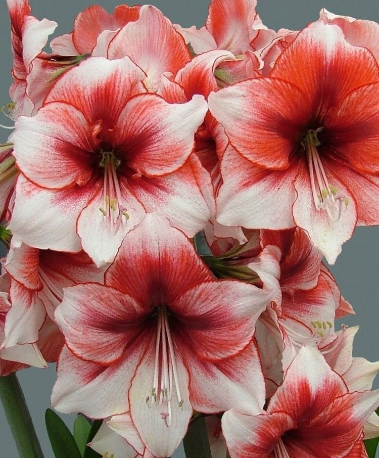 Amaryllis Temptation Amaryllis Flowers Lily Flower Seeds Bulb Flowers