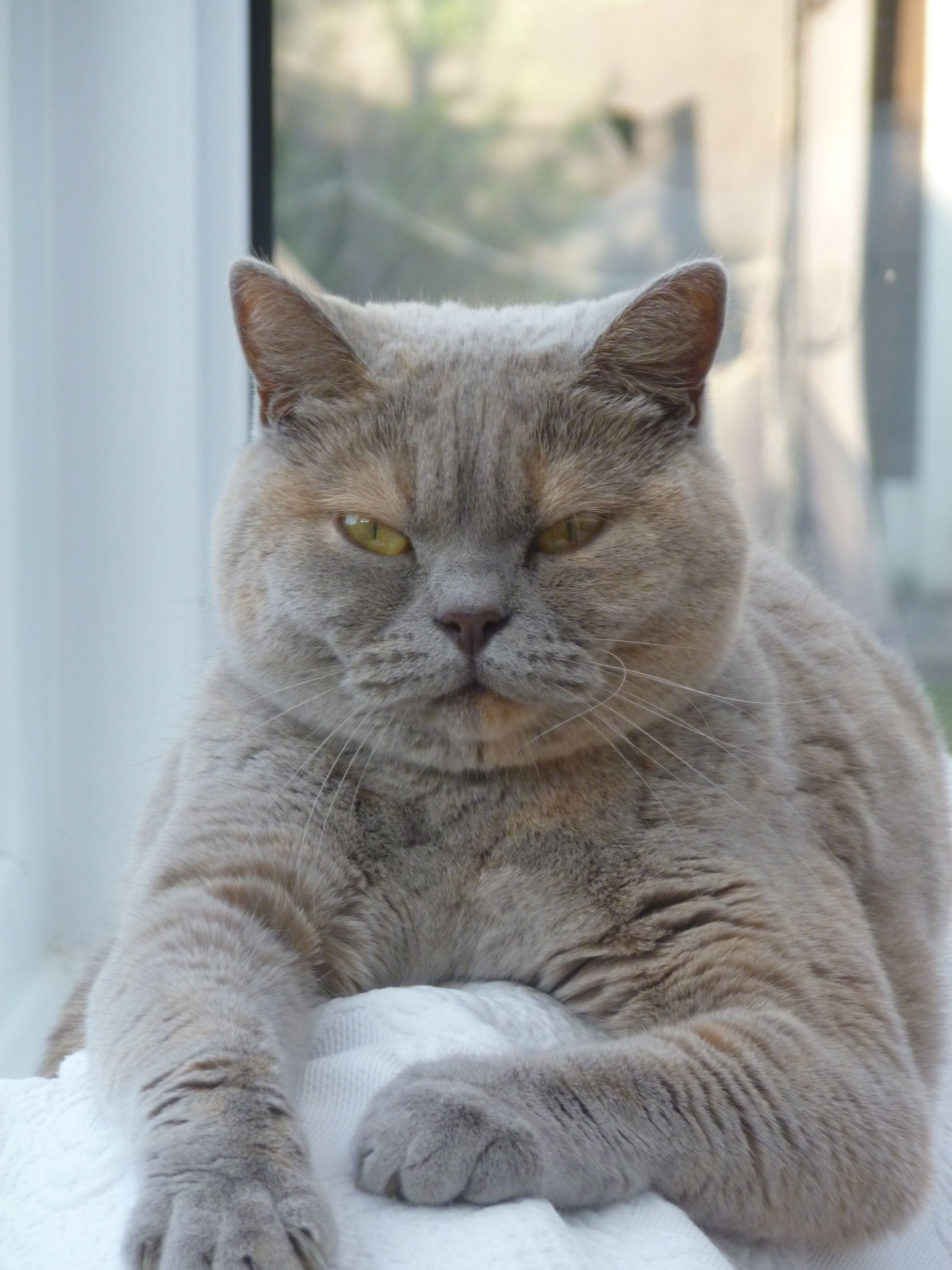 Lilac Cream British Shorthair Winnie Win British Shorthair British Shorthair Cats Pedigree Cats