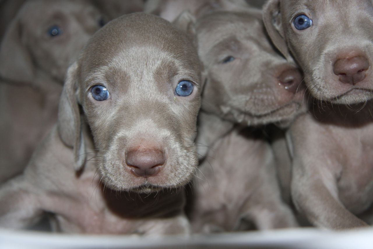 Silver Weimaraner Puppies Animals Pinterest