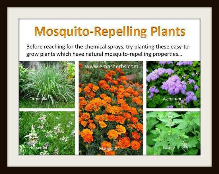 To Control Mosquitoes The Natural Way, Plant MOSQUITO REPELLENT PLANTS In  Your Yard Or In Containers Around The Patio, Porch, Front Door, Etc.