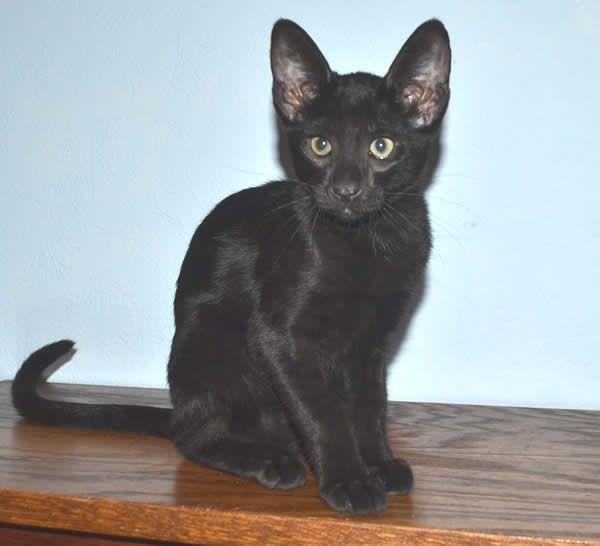 F6 Savannah Kittens For Sale Amanukatz Savannah Cats Ohio Michigan