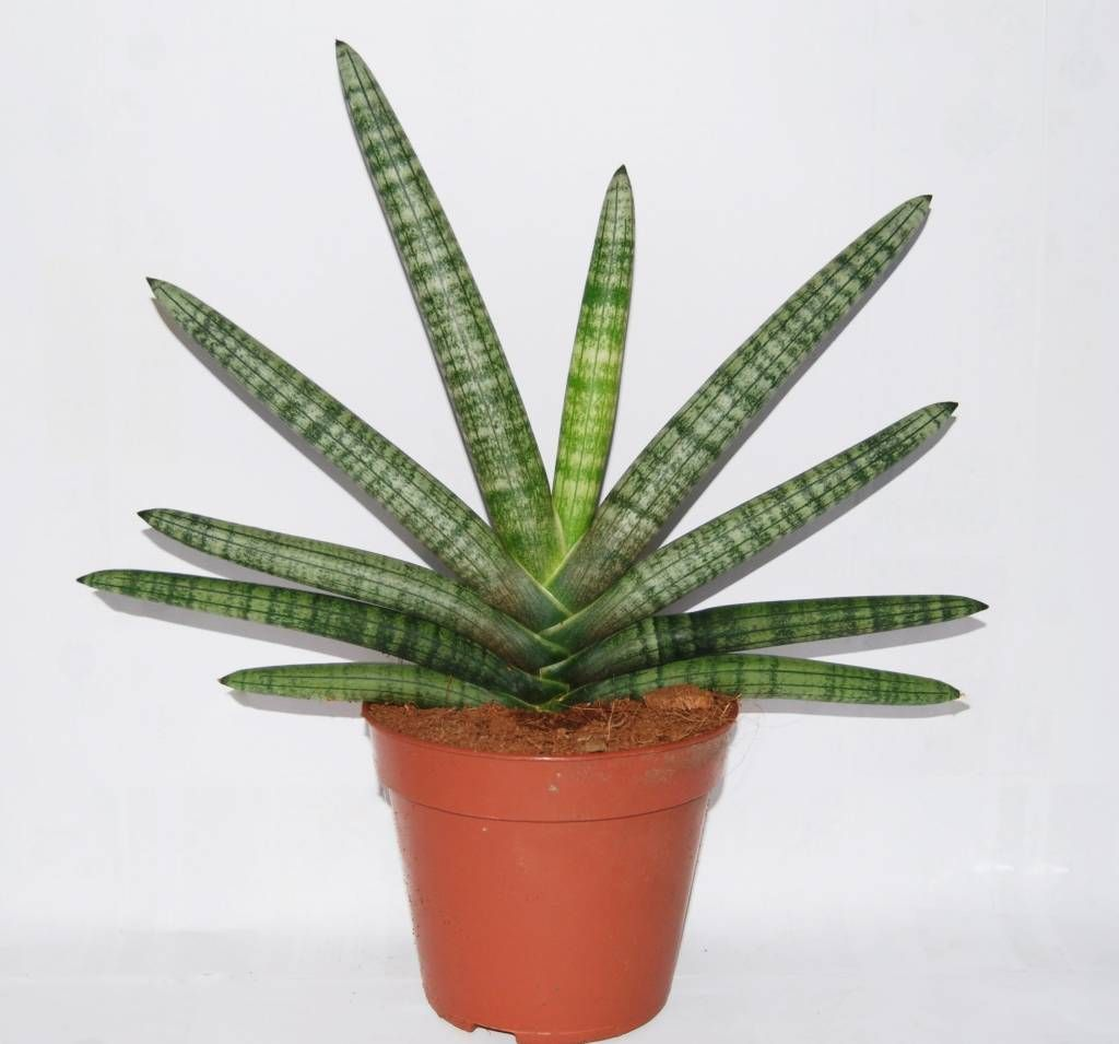 sansevieria cylindrica 39 boncel 39 florastore sansevieria who would of thought pinterest. Black Bedroom Furniture Sets. Home Design Ideas