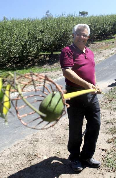 Clearview Orchards owner, Mel LaRussa picks avocados from one of the many trees that dot the grounds in Watsonville, Friday. (James Clark/Sentinel)
