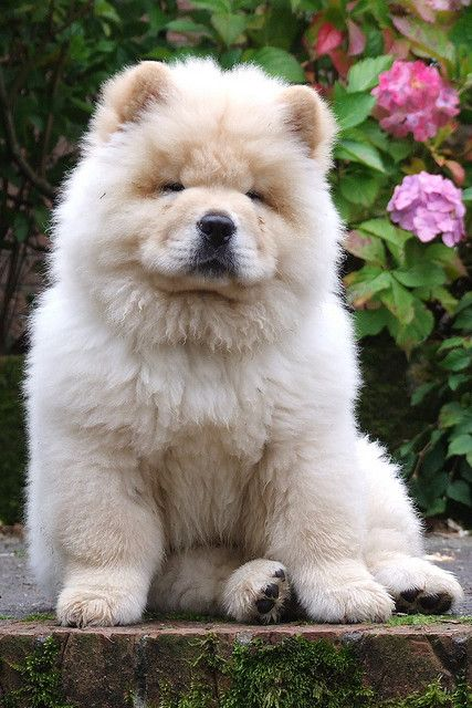 Polo The Chow Chow Fluffy Dogs Cute Puppies Dogs