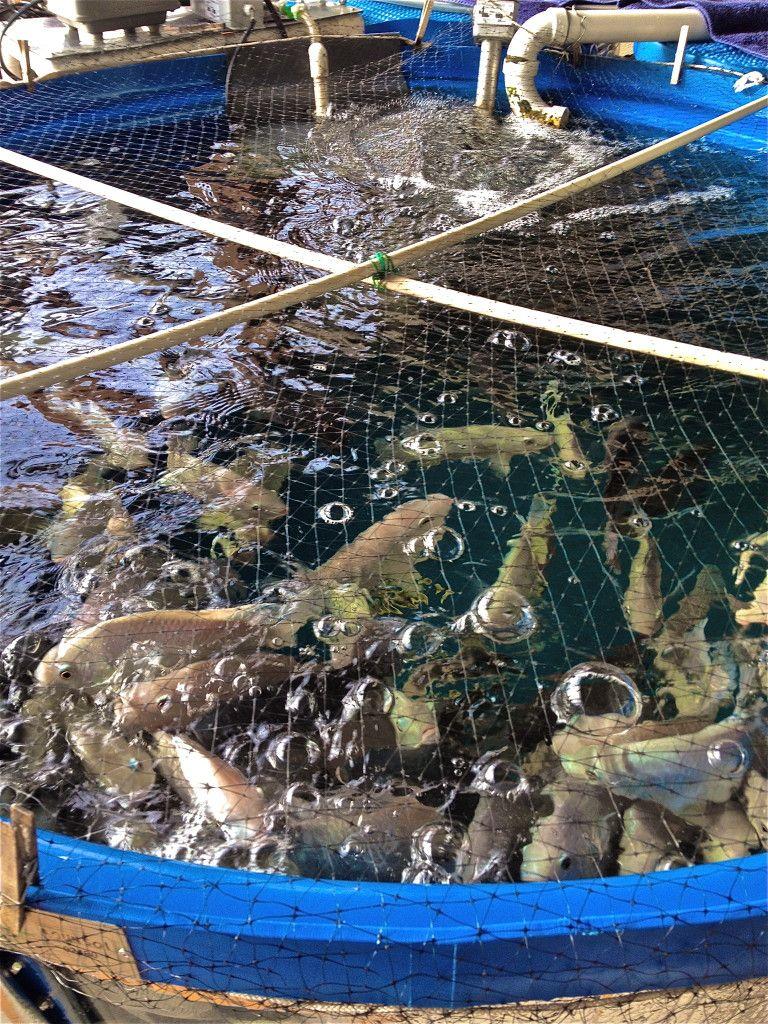 Healthy Tilapia Aquaponics, Aquaponics fish