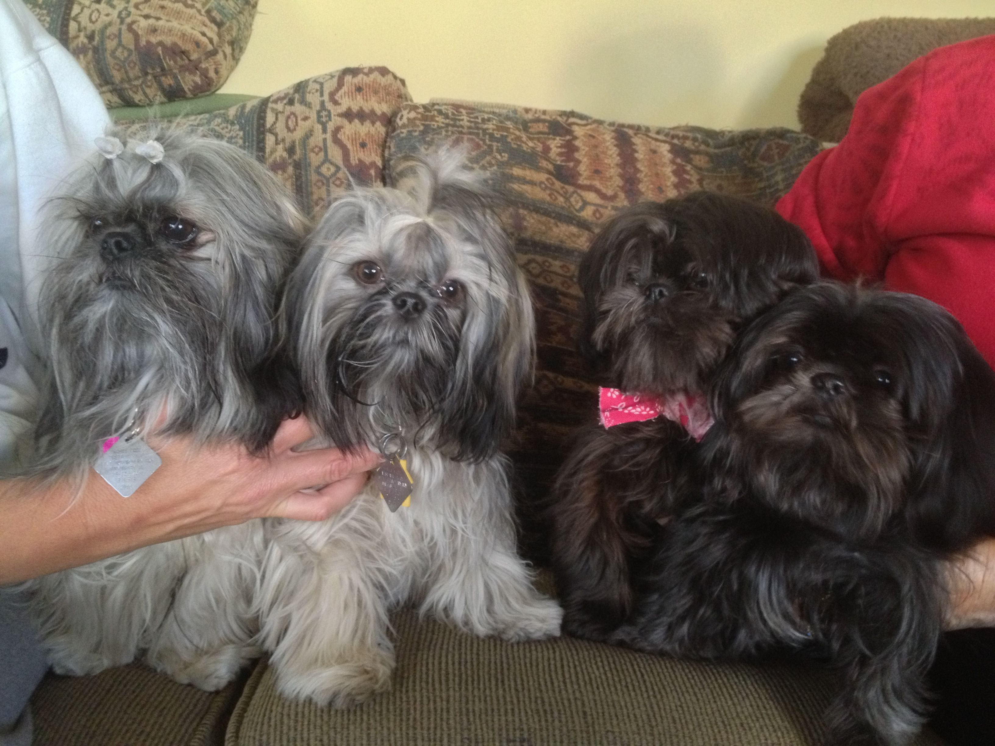 Adult Shih Tzu Chinese Imperials Belong To Lana F Imperial