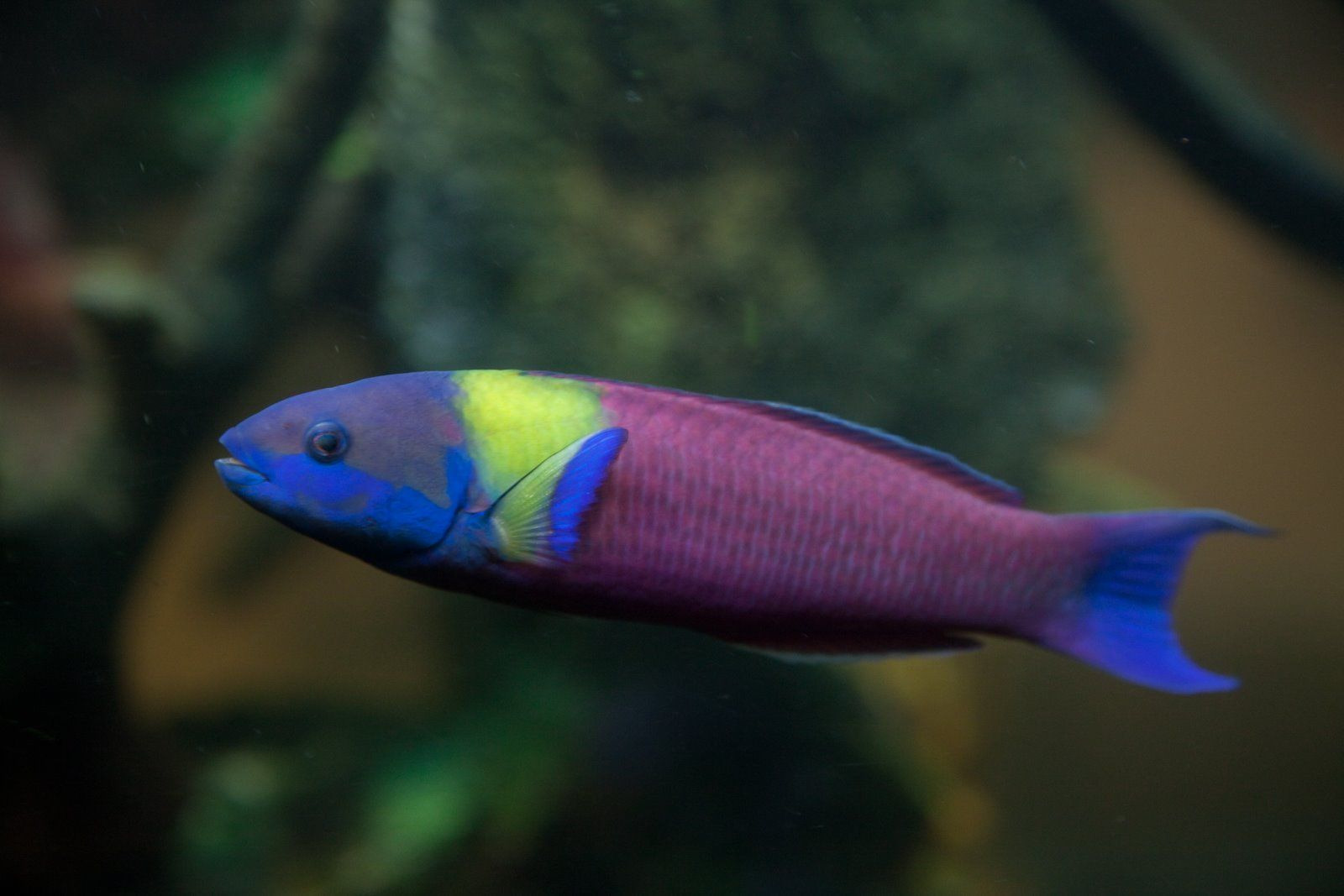 Cortez Rainbow Wrasse Price 149 Marine Fish Marine Animals Aquarium Fish