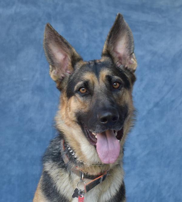 Dogs For Adoption Petfinder German Shepherd Puppies Dog Pond