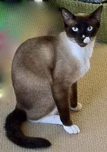 Forum Upgrade Snowshoe Cat Snowshoe Siamese Cute Cats