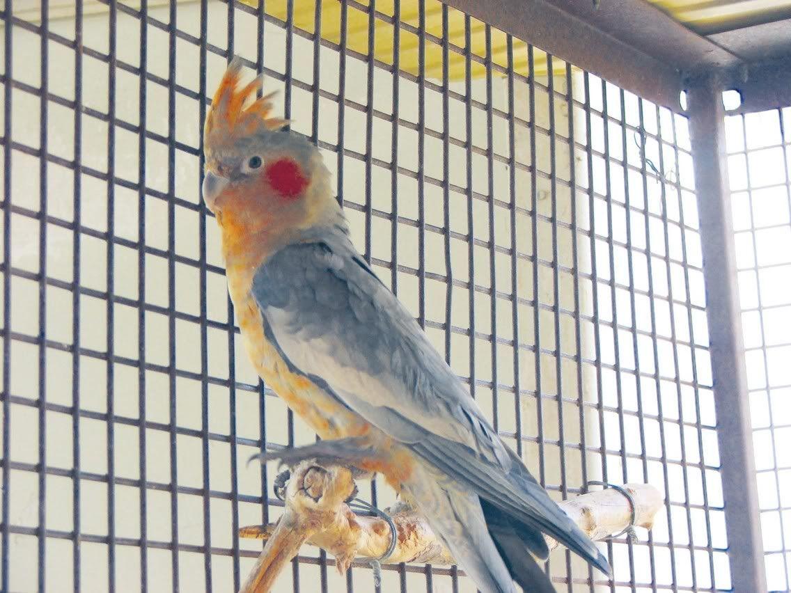 Hybrid Parrots Peggy S Parrot Place Parrot Cockatiel Pet Birds