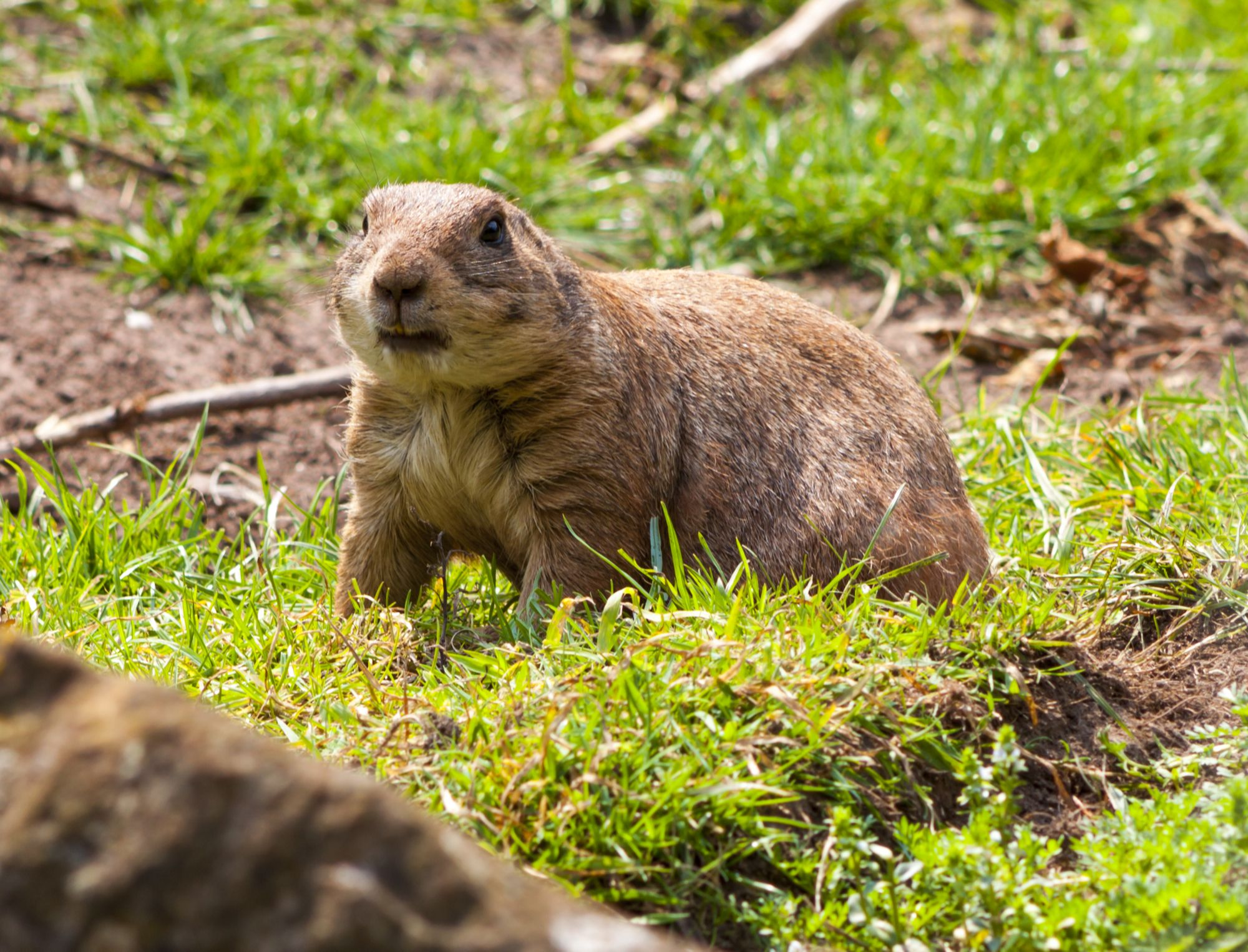 How To Get Rid Of Gophers Naturally Getting Rid Of Gophers