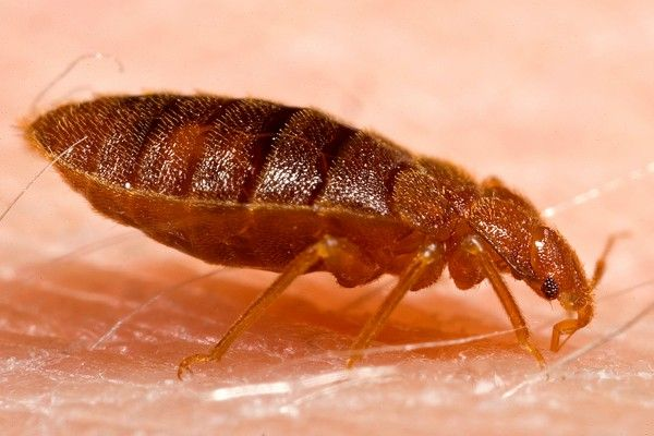 Eight Easy Ways To Get Rid Of Bed Bugs Bed Bug Bites Bed Bugs Bed Bug Facts