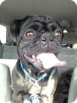 Pin By Whitney Maxson On Adopt Me Pugs For Adoption Pets