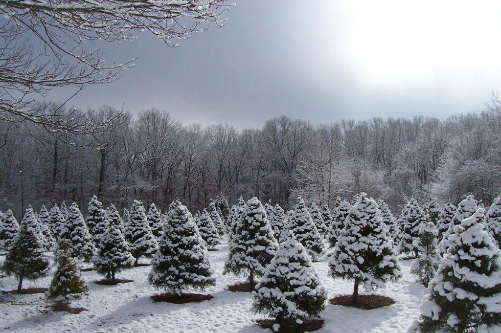 Oklahoma Agritourism Christmas Tree Care Tree Care Christmas Tree Farm