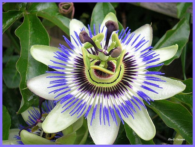 Passion Flower Bloom Explored Passion Flower Bloom Flowers