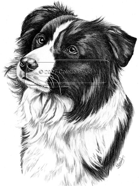 Pencil Drawing Of A Collie Dog Border Collie By Bearnaccessories