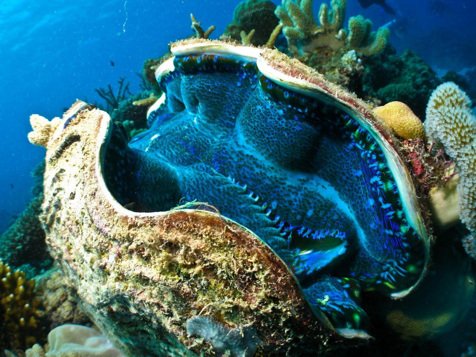 Great Barrier Reef Animals Great Barrier Reef Liveaboards Great Barrier Reef Animals Giant Clam