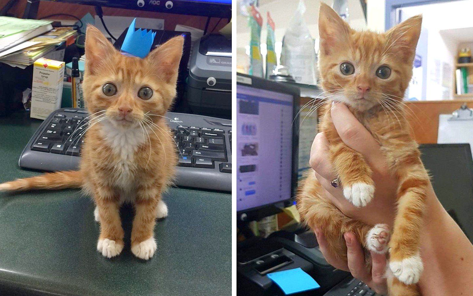 Kitten Who Just Doesn T Seem To Grow Stumped Rescuers But He S Won Their Hearts Photos Kitten Ginger Kitten Photo Heart