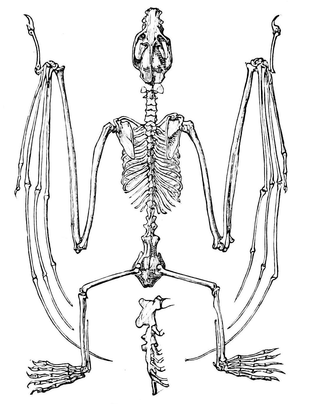 Httpuploadmediawikipediacommons442 skeleton of flying fox bat pooptronica Images
