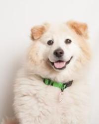 Winter Is An Adoptable Samoyed Dog In Santa Cruz Ca Winter Is 5
