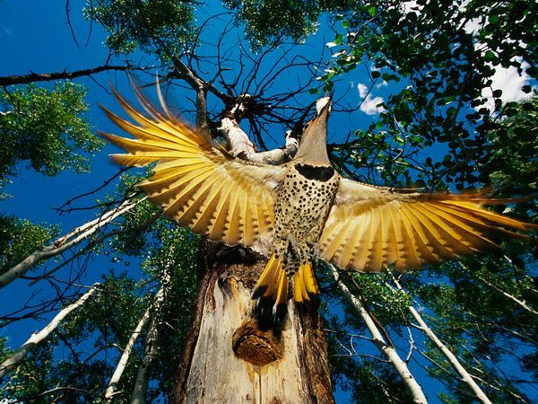 Yellow-Shafted Flicker  Photograph by Michael S. Quinton A  yellow-shafted flicker leaves its nest in a forest in the United  States. Flickers are woodpeckers that can hammer trees but prefer to  forage on the ground. They often dig in the dirt for ants.