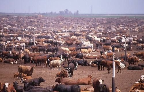 "Feedlot. In order to keep up with ""supply and demand"" for meat and as  by-products animals are mass produced. 