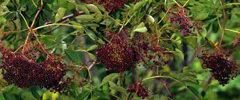 elderberry bush - Google Search