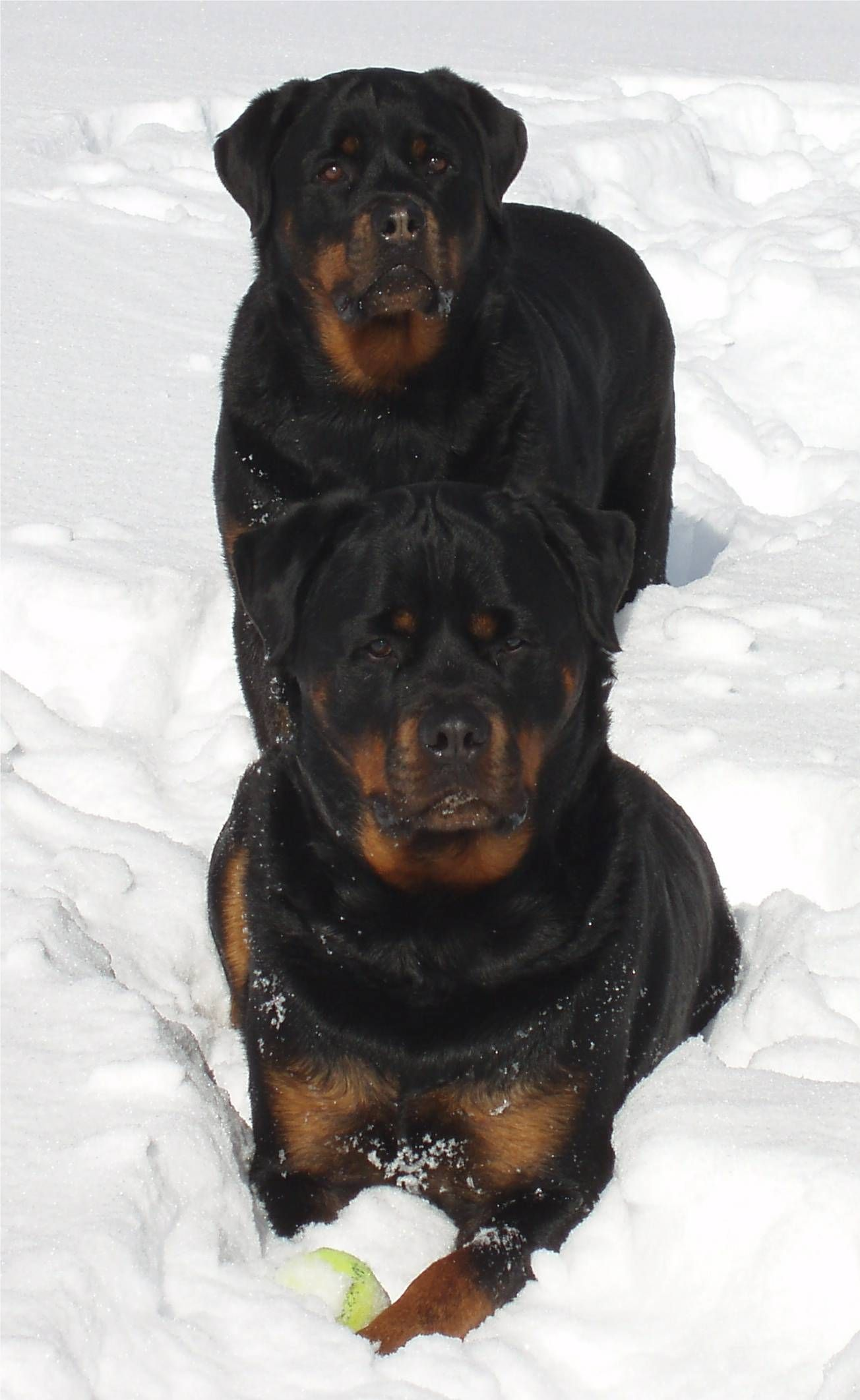 Best rottweiler websites