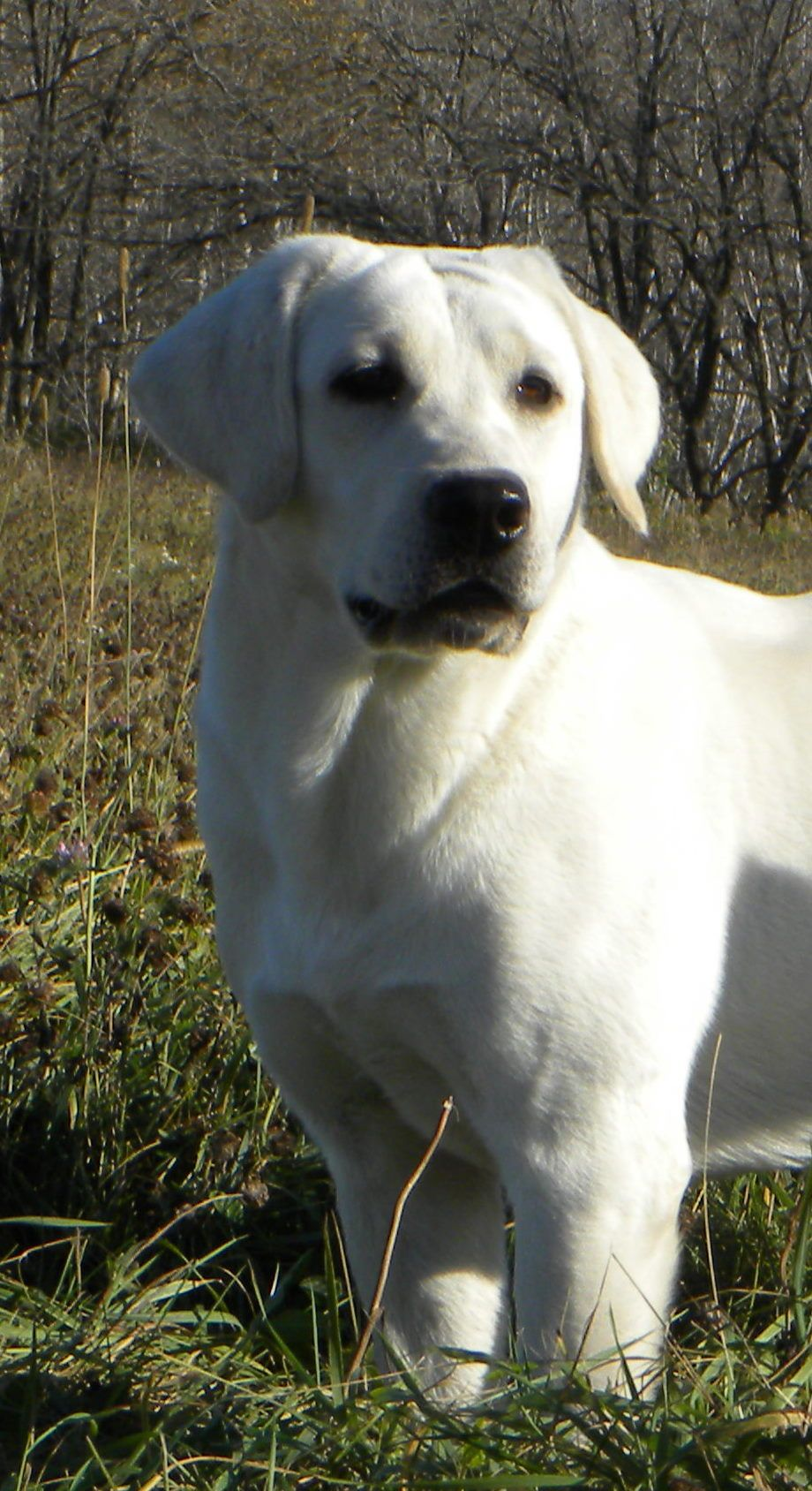 White Lab White Cream Yellow Lab White Labrador Puppy White Labradors White Labrador Retriever White Labrador