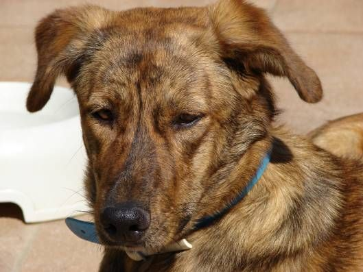 Cursinu (U'Cursinu or Chien de Chasse) | Cursinu ** | Dogs ...