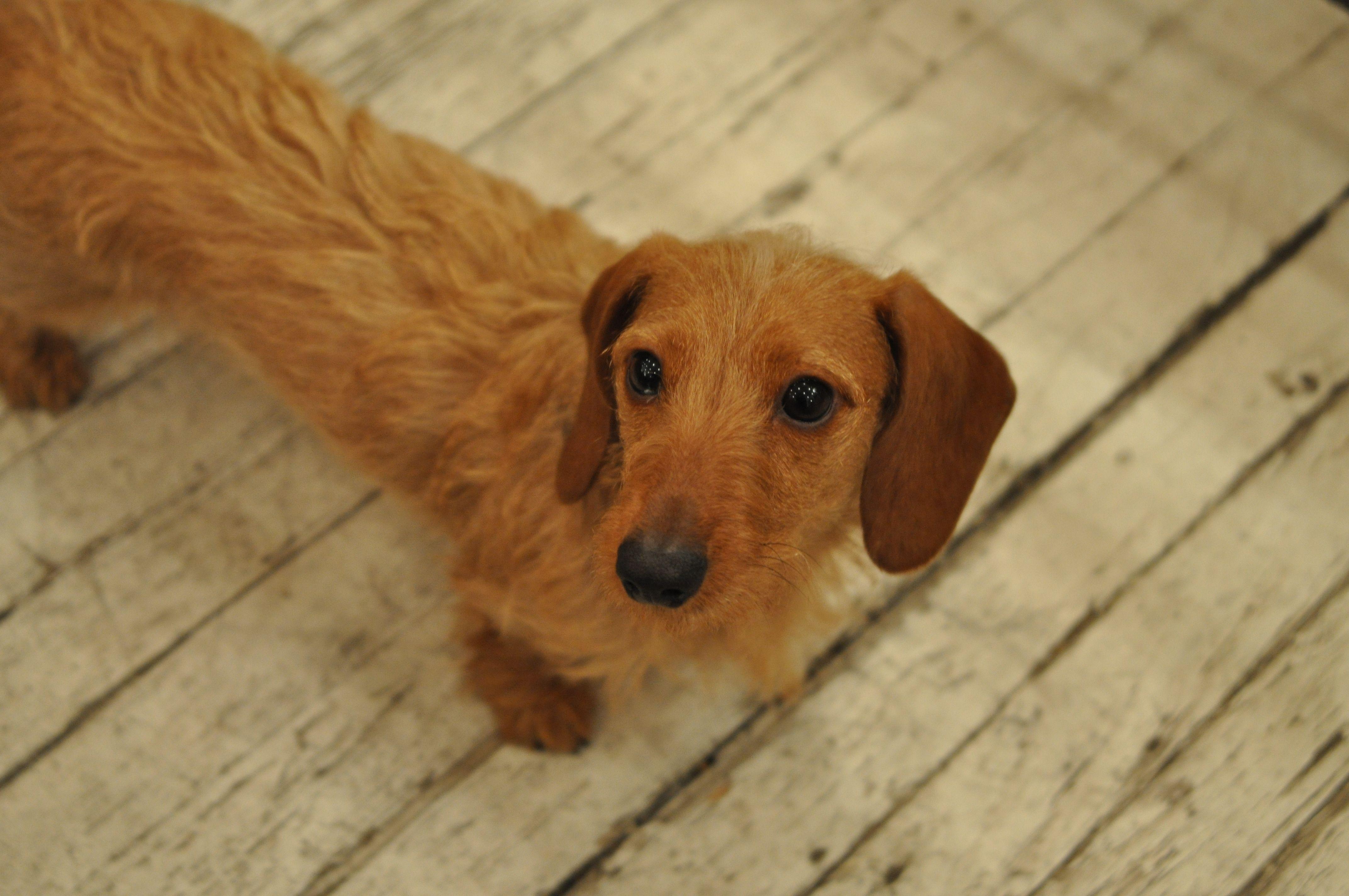 Mercedes! #dogsofmecox #doglover #dogs #petsofmecox #petlover #pets #dachshund