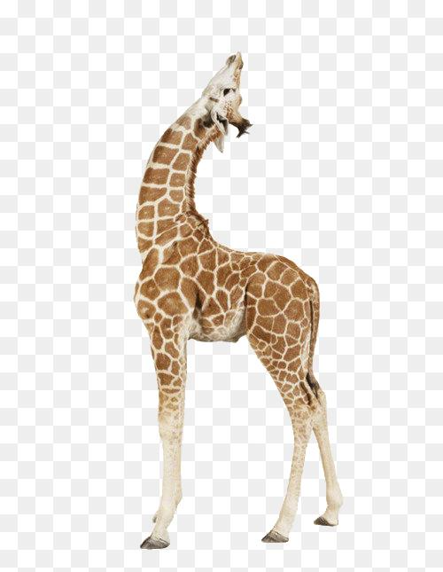 Pin By Amelia Rose Flower And Plant On Mammals Baby Giraffe Giraffe Cartoons Png