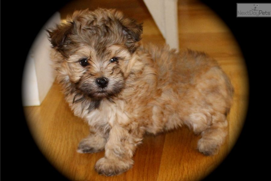 Ginger: Malti Poo - Maltipoo puppy for sale near Manhattan