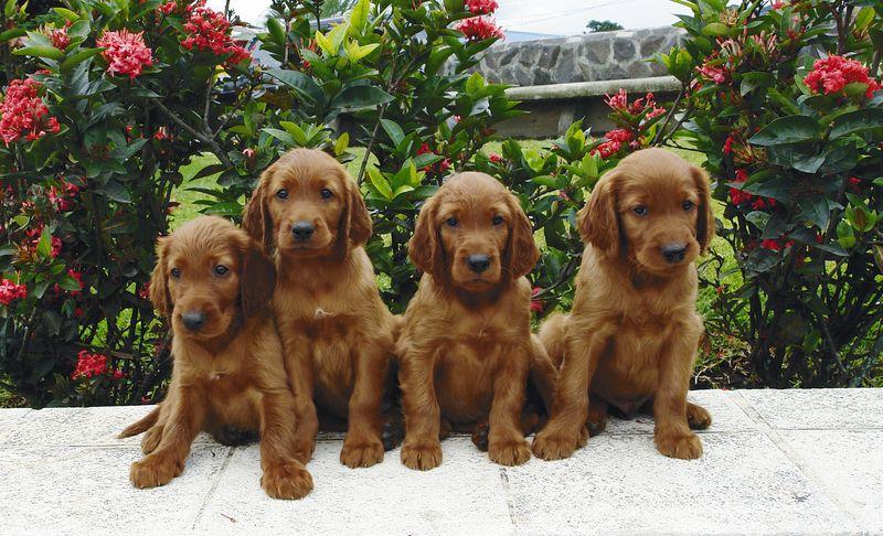 Irish setters irish setter puppy irish setter dogs