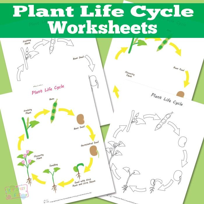 Plant Life Cycle Worksheet | Worksheets, Cycling and Plants