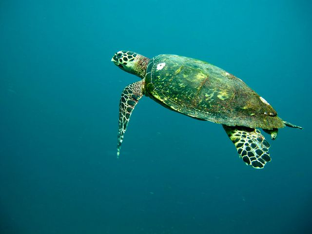"""Oman -- """"Its idyllic beaches are important nesting grounds for five species of sea turtles with as many as 20,000 Green Turtles and 30,000 Loggerhead Turtles returning each year to lay their eggs on Oman's protected shores.""""  (Lovely.  If only it weren't over-run with pirates at the moment.)"""